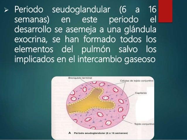  Periodo canalicular (semana 16 a 26) aumenta el tamaño de las luces de los bronquios  El bronquiolo terminal da dos o m...
