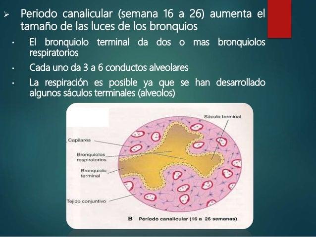  Periodo sacular terminal: (26 semanas hasta el nacimiento)  Se desarrollan sáculos terminales  Se ponen en íntimo cont...