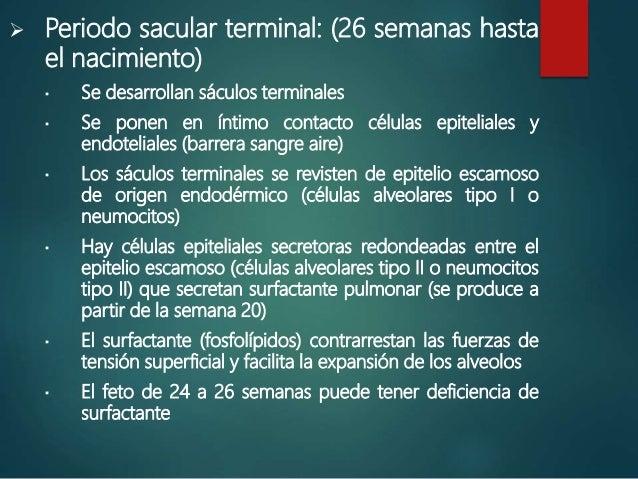  Periodo sacular terminal: (26 semanas hasta el nacimiento)