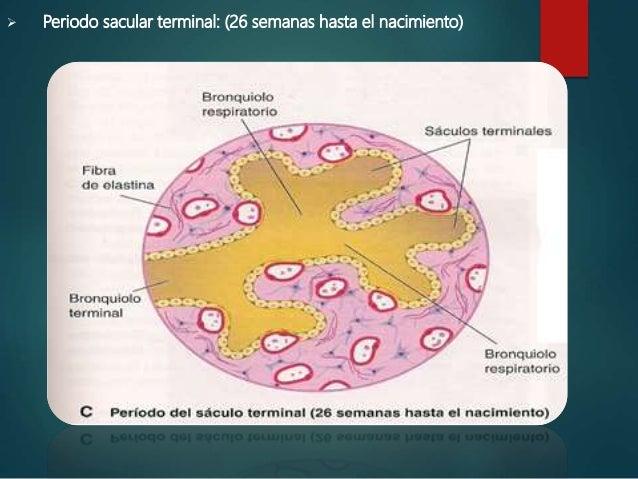  Periodo alveolar: (32 semanas a 8 años)  Los capilares sobresales en los sáculos terminales  Aumentan capilares linfát...