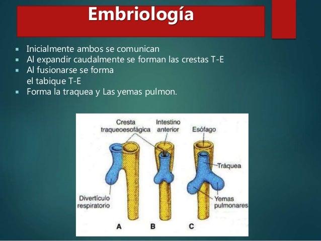  5ta semana: crecimiento de las yemas Embriología