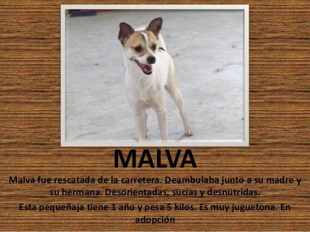 MALVA Malva fue rescatada de la carretera. Deambulaba junto a su madre y su hermana. Desorientadas, sucias y desnutridas. ...