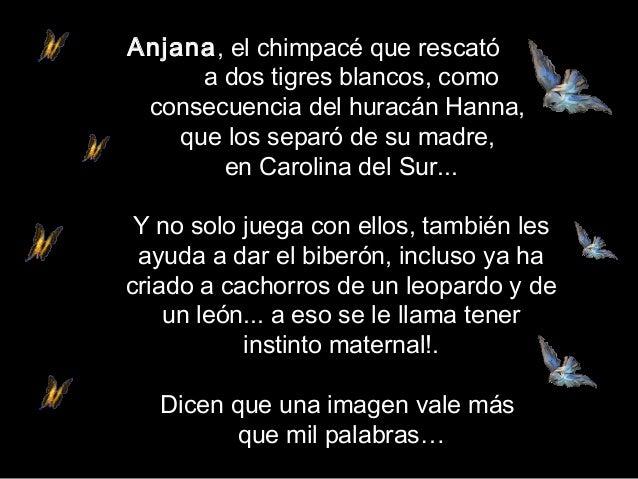 Anjana, elchimpacé que rescatóa dos tigres blancos, comoconsecuencia del huracán Hanna,que los separó de su madre,en Caro...