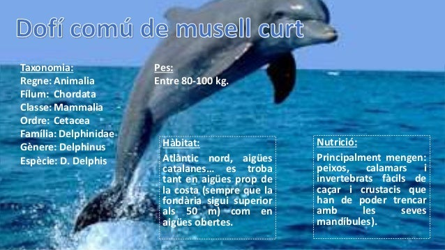 Nutrició: Principalment mengen: peixos, calamars i invertebrats fàcils de caçar i crustacis que han de poder trencar amb l...
