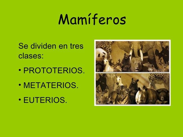 MamíferosSe dividen en tresclases:• PROTOTERIOS.• METATERIOS.• EUTERIOS.