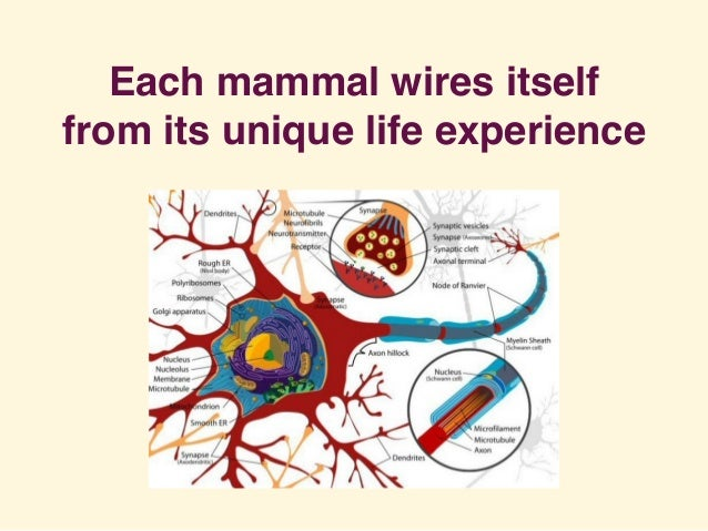 Each mammal wires itself from its unique life experience