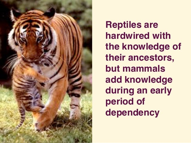 Reptiles are hardwired with the knowledge of their ancestors, but mammals add knowledge during an early period of dependen...