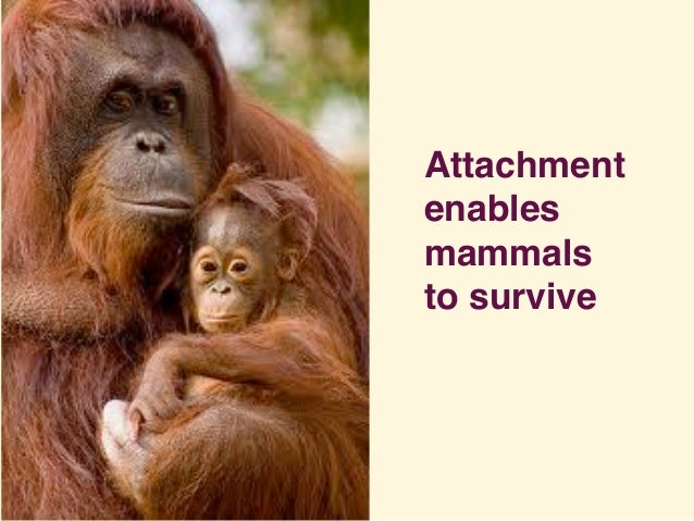 Attachment enables mammals to survive