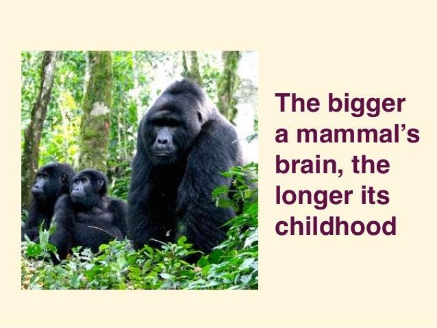 The bigger a mammal's brain, the longer its childhood