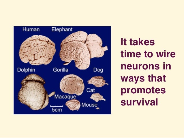 It takes time to wire neurons in ways that promotes survival