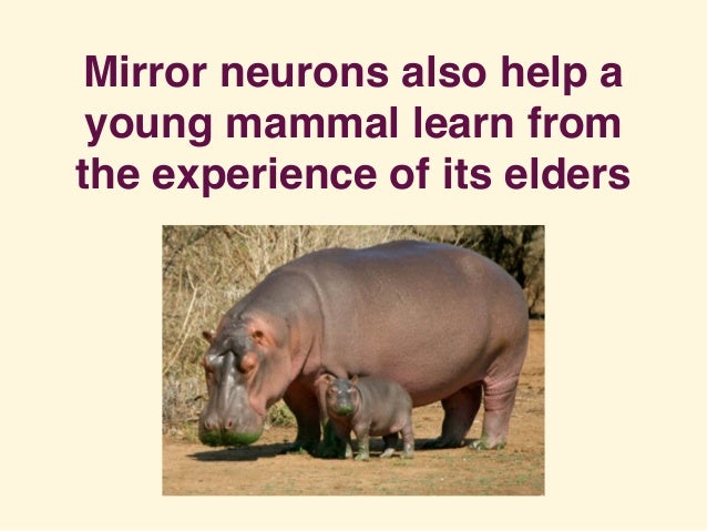 Mirror neurons also help a young mammal learn from the experience of its elders