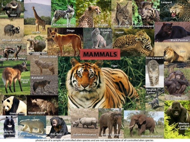• Mammals have developed nervous and reproductive systems. • They are considered the most advanced members of the animal k...
