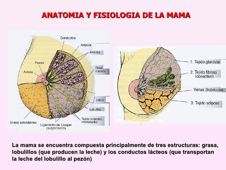 Bonito Tejidos De Anatomía Y Fisiología Ornamento - Anatomía de Las ...