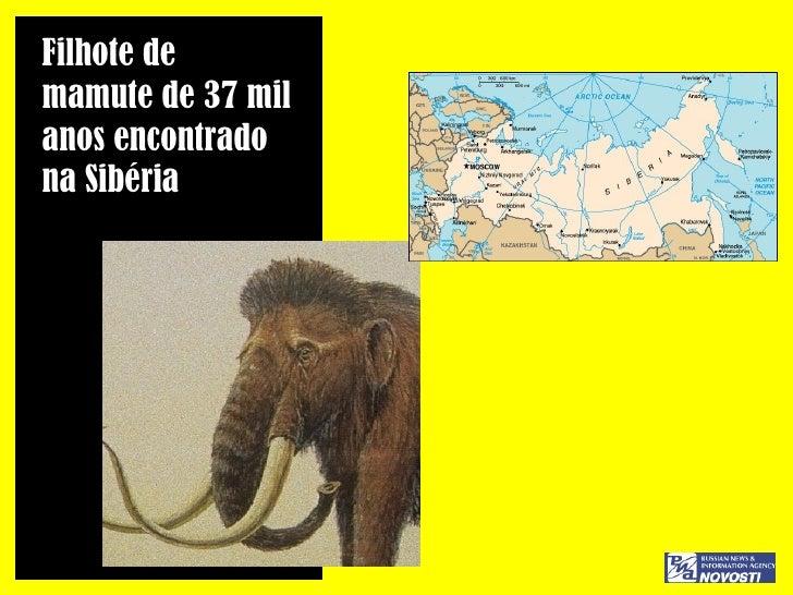 Filhote de  mamute de 37 mil  anos encontrado  na Sibéria