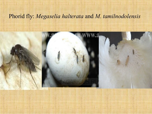 Mushroom-Growing and Mushroom Insects and Their Control