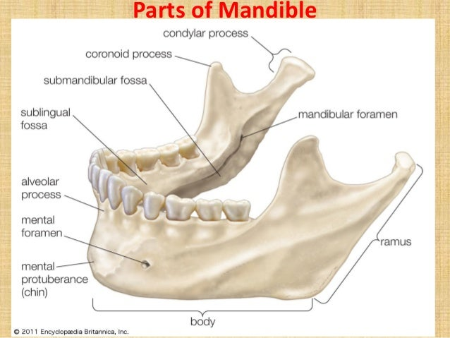 mandible, Human Body