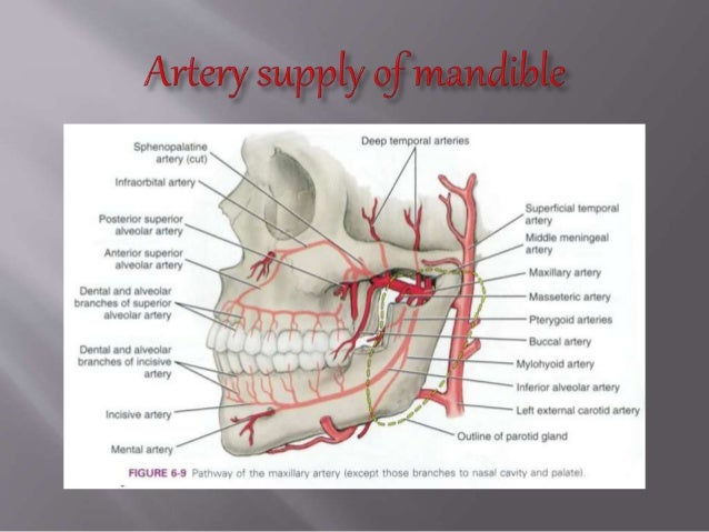 anatomy,development and clinical consideration of mandible, Human Body