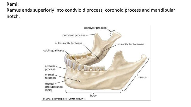 base of mandible diagram    mandible        mandible