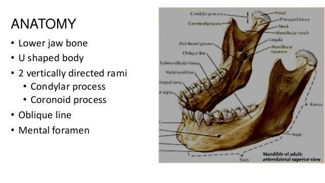ANATOMY • Lower jaw bone • U shaped body • 2 vertically directed rami • Condylar process • Coronoid process • Oblique line...