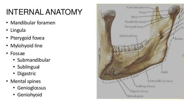 INTERNAL ANATOMY • • • • •  Mandibular foramen Lingula Pterygoid fovea Mylohyoid line Fossae • Submandibular • Sublingual ...