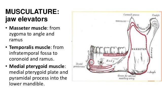 MUSCULATURE: jaw elevators • Masseter muscle: from zygoma to angle and ramus • Temporalis muscle: from infratemporal fossa...