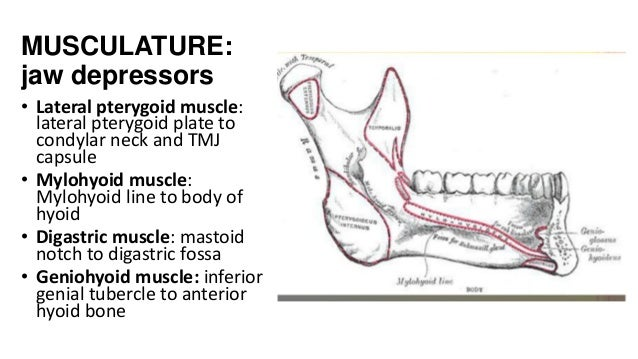 MUSCULATURE: jaw depressors • Lateral pterygoid muscle: lateral pterygoid plate to condylar neck and TMJ capsule • Mylohyo...