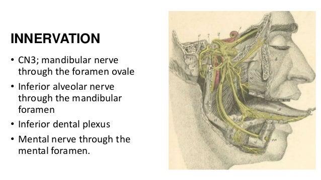 INNERVATION • CN3; mandibular nerve through the foramen ovale • Inferior alveolar nerve through the mandibular foramen • I...