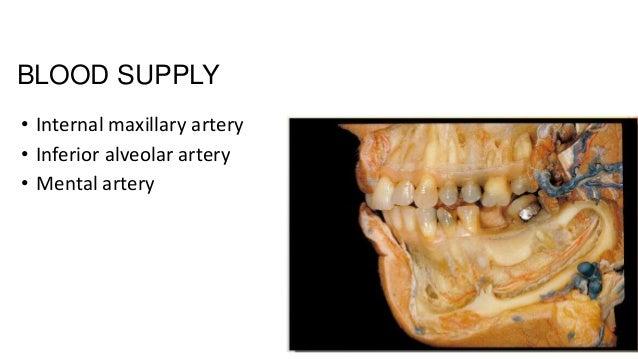 BLOOD SUPPLY • Internal maxillary artery • Inferior alveolar artery • Mental artery