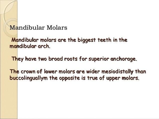 morphology of mandibular 1st,2nd,3rd molars teeth  Slide 2