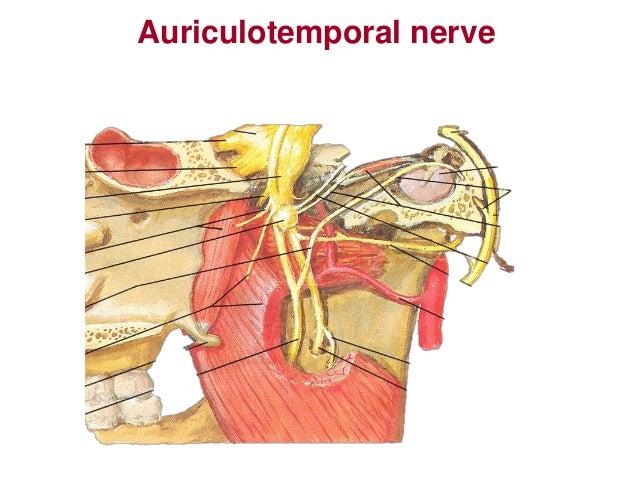 Mandibular nerve and otic ganglion