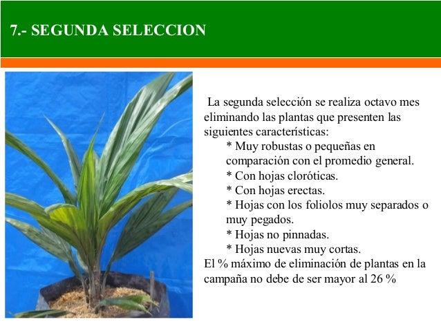 Manejo del cultivo de palma aceitera
