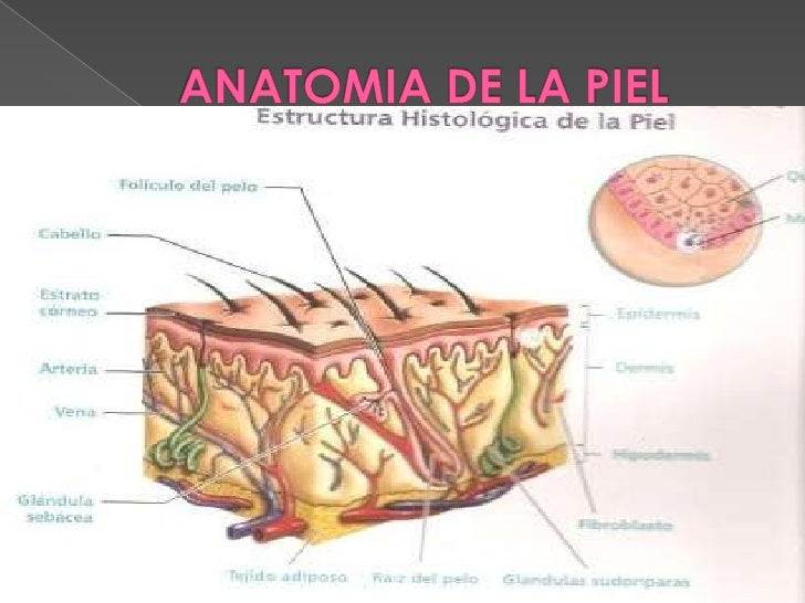 ANATOMIA DE LA PIEL <br />