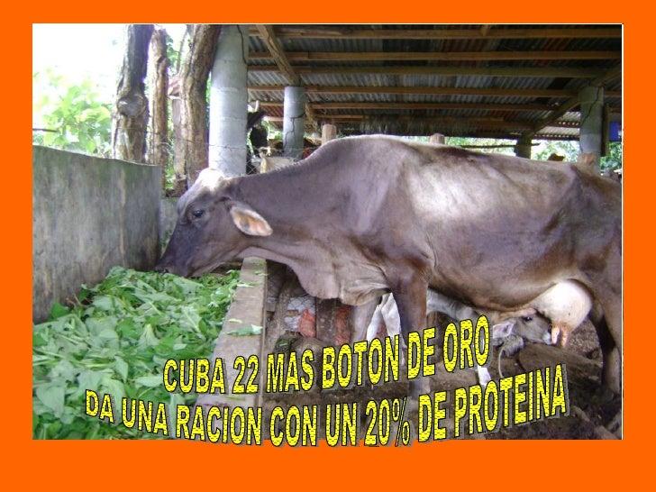 CUBA 22 MAS BOTON DE ORO DA UNA RACION CON UN 20% DE PROTEINA
