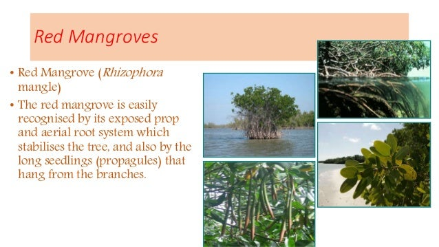 mangroves for mankind Mangroves are destroyed mainly by man-made activities in different forms, which pose serious threat to the ecosystem around the map and silently become one of the reasons for global warming and climate change this is due to population growth and unsustainable economic development including.
