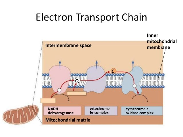 Electron Transport Chain Easy Diagram Gallery - How To ...