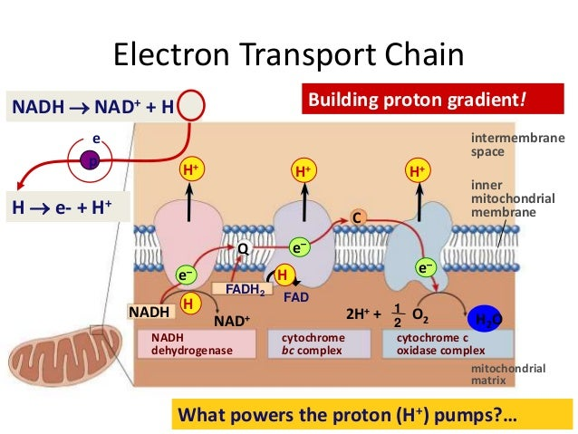 Electron transport chain etc electron transport chain intermembrane ccuart Choice Image