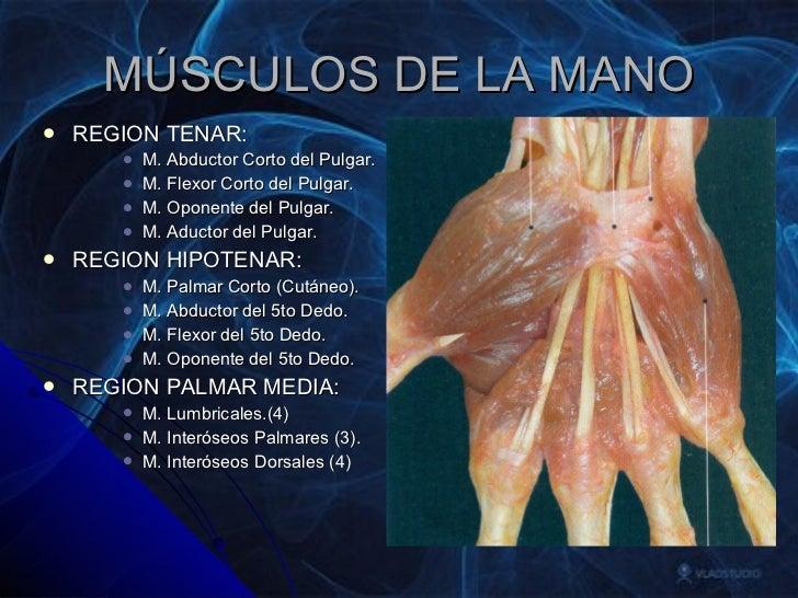 Anatomia Grupo Atlas Mano Miembro Superior