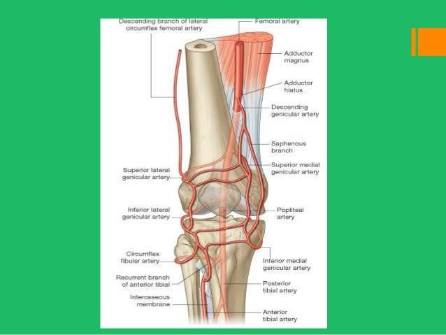 Knee replacement anatomy