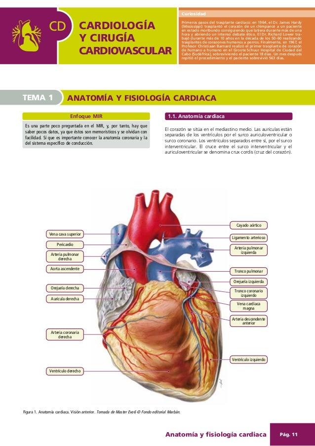Dorable Anatomía Y Fisiología Del Corazón Humano Pdf Bosquejo ...