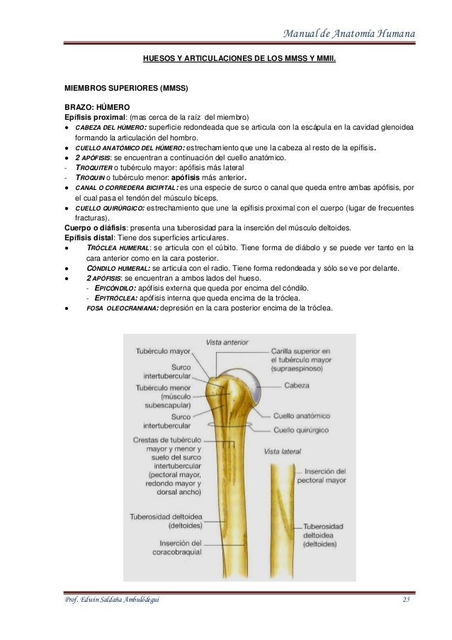 Manual de Anatomia Normal Humana Prof. Edwin Ambulodegui
