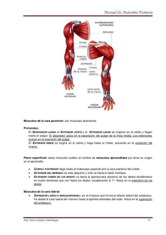 Único Ver La Anatomía Gris Línea Gratuita Cresta - Anatomía de Las ...