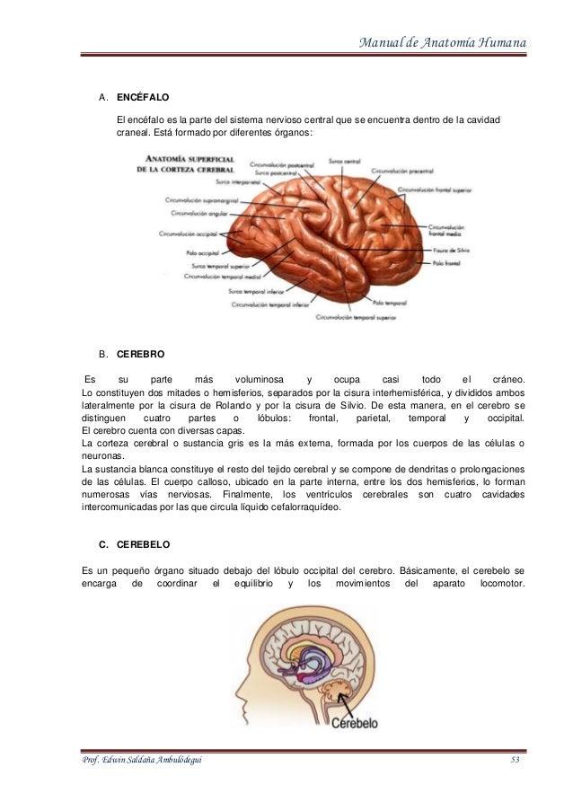 Magnífico Anatomía Humana Normal Festooning - Anatomía y Fisiología ...