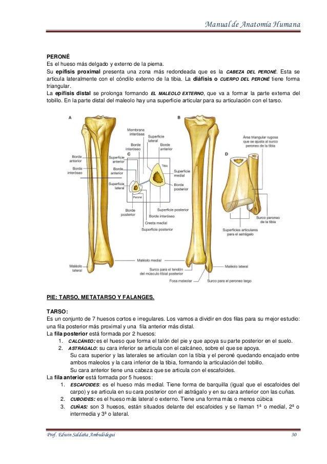Increíble Peroné Y La Tibia Anatomía Inspiración - Imágenes de ...