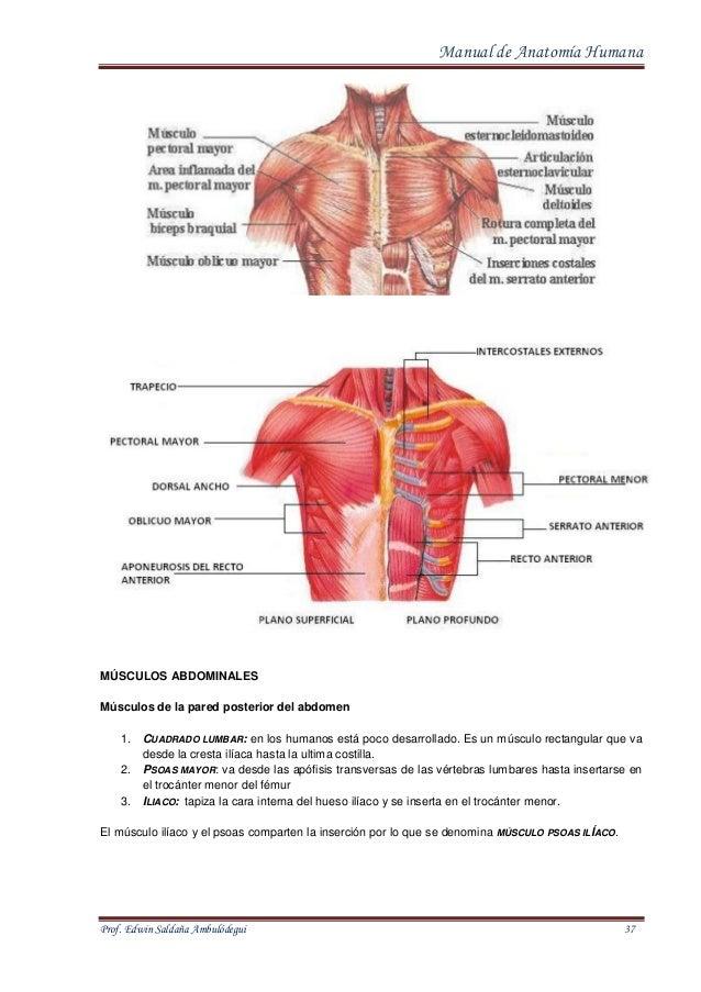 Excepcional Músculos Lumbares Anatomía Molde - Imágenes de Anatomía ...