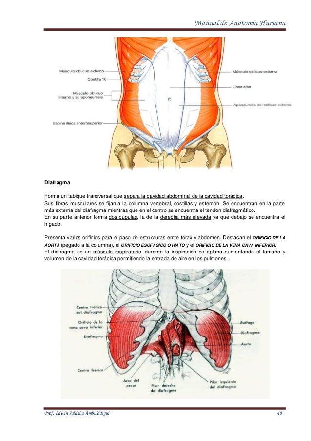 Atractivo Bosquejo De La Anatomía Humana Composición - Imágenes de ...