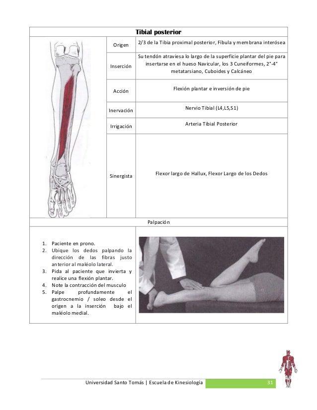 Contemporáneo Anatomía Del Nervio Tibial Foto - Imágenes de Anatomía ...