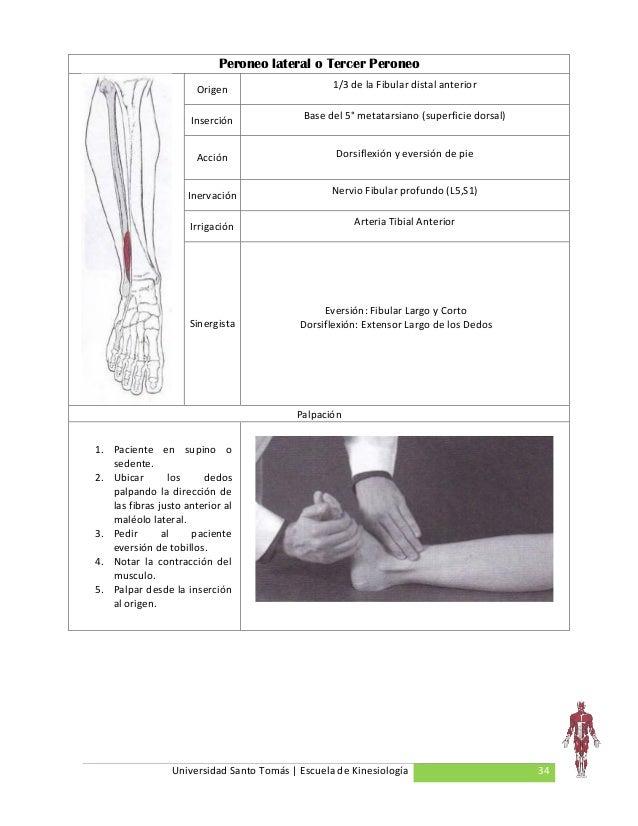 Manual de musculos 2.0
