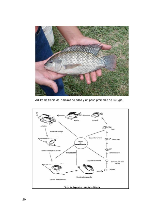 Manual de producci n de tilapia for Reproduccion de tilapia en estanque