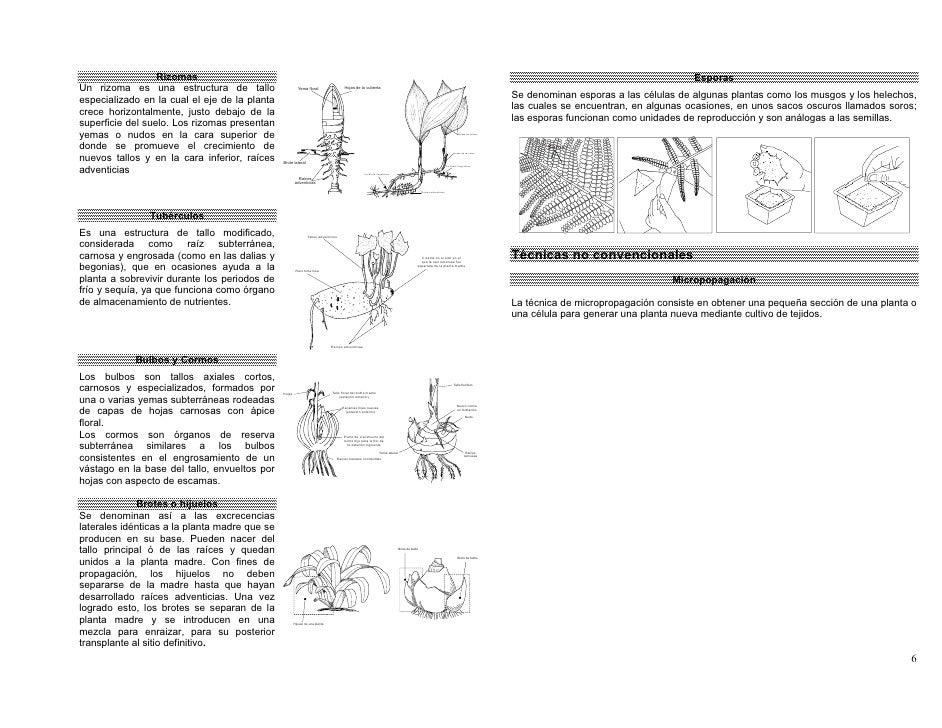 Reproduccion asexual o vegetativa del izote
