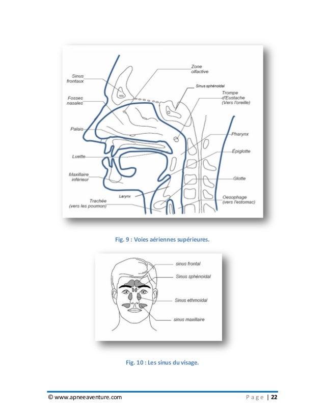 © www.apneeaventure.com P a g e   22 Fig. 9 : Voies aériennes supérieures. Fig. 10 : Les sinus du visage.